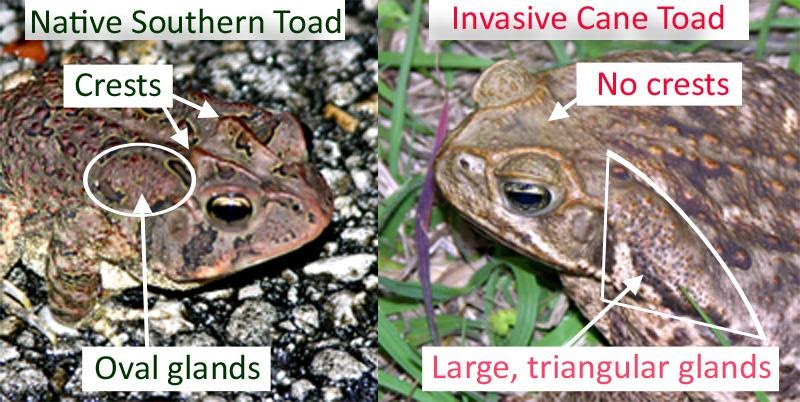 Bufo Toad Toxicity